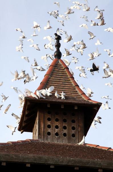 Portes Ouvertes aux Pigeons du Mont Royal à Lombers